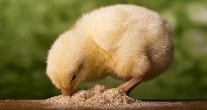 Az elhalásos bélgyulladás elleni védekezés újabb lehetőségei brojler csirkékben