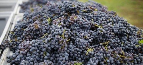 Skandináv szőlőkapkodó