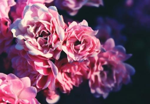 MAI - Angebot des Monats: Rose