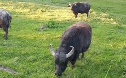 """Büffel"" Wanderung"