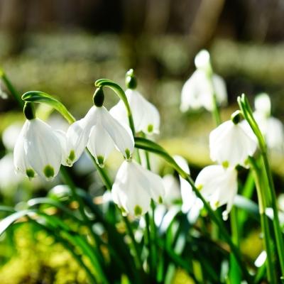 Tavaszi tőzike túra